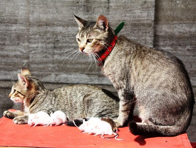 Kaķu un peļu ģimenīte