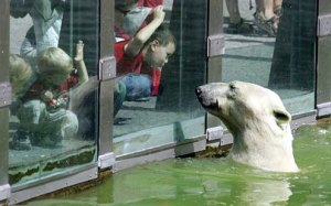 Baltais lācis