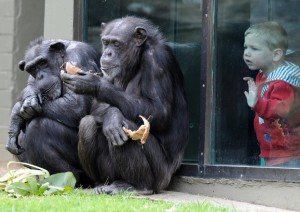 Simpanzes