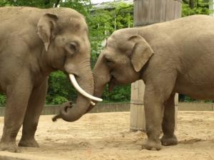 Ziloņi
