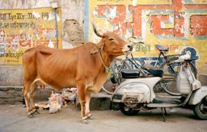 India muccha